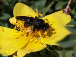 <i>Andrena pilipes</i> Fabricius ヒメハナバチ科(カザフスタン)